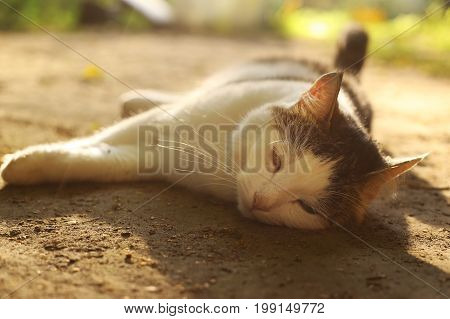 cat nap on siesta lay on the summer ground close up outdoor country photo
