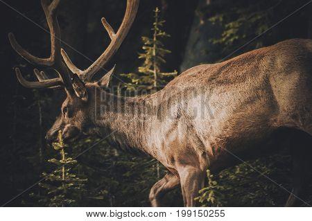 Colorado Elk or Wapiti near the Town of Granby CO. Colorado Wildlife and Game.
