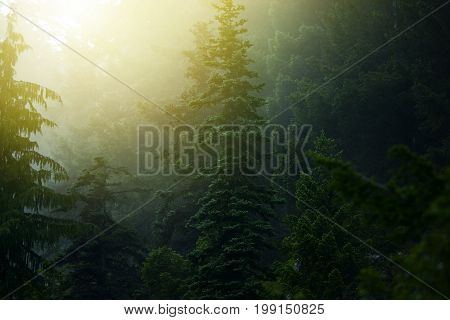 Foggy Mysterious Forest. Olympic Penninsula in Washington USA.