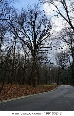 A majestic oak tree stands beside the paved road in the Hammel Woods Forest Preserve in Shorewood, Illinois.