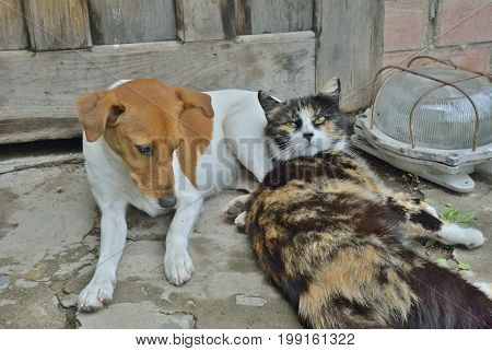 A close up of the recumbent side by side dog (Parson Russel terrier) and cat.