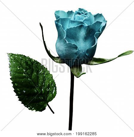 Turquoise rose on white isolated background with clipping path. No shadows. Closeup. A flower on a stalk with green leaves after a rain with drops of water. For flowers design. Side view. Nature.