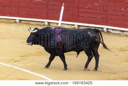 Bloodied bull. Spanish bullfight. The enraged bull attacks the bullfighter