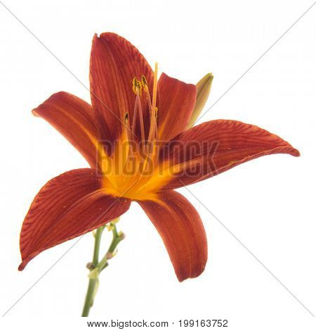 Single orange daylily isolated over white background
