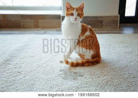 Cute cat sitting on carpet near wet spot
