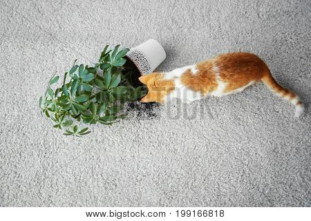 Cat near overturned house plant on light carpet