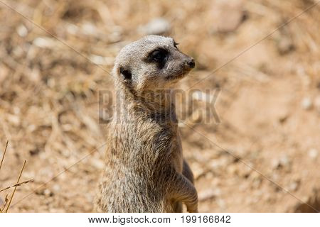 A meerkat or suricate watching out for danger