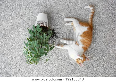 Cat lying near overturned house plant on light carpet