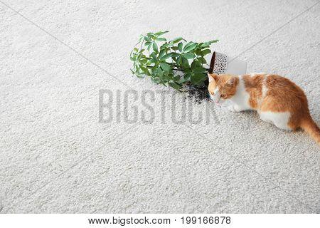 Cat near overturned house plant on light carpet