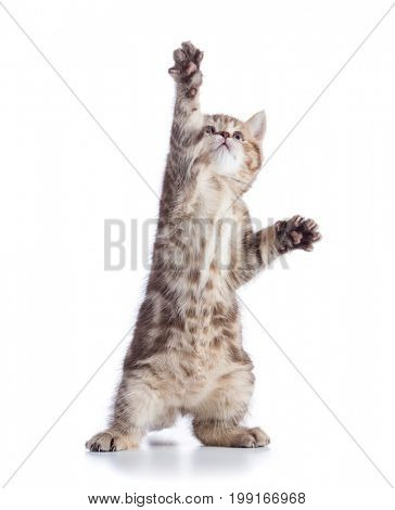 Funny kitten cat standing or dancing and looking up isolated