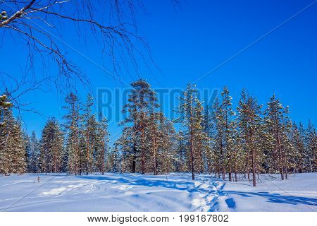 The concept of active and extreme tourism. Winter fairy tale in a sunny frosty day.  Lapland. In deep snow there are blue shadows