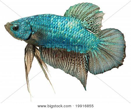 Metallic Blue Plakat. Betta Splendens.