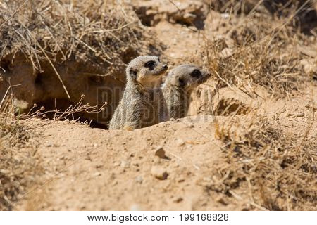 meerkats or suricate watching out for danger