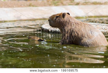 capybara (Hydrochoerus hydrochaeris ), largest living rodent in the world