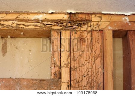 Mud tubules and tracks of subterranean termites on exposed studs in wall.