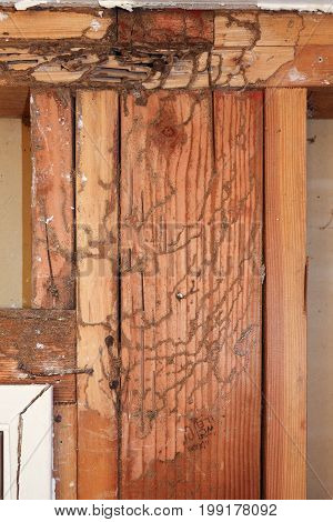 Shelter or mud tubes and tracks of subterranean termites exposed on wall studs.