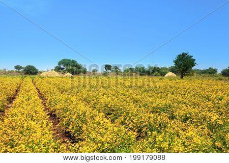Yellow mustard fields in India near Vijayawada