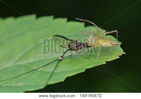 macro image of a lynx spider with prey (mayfly)