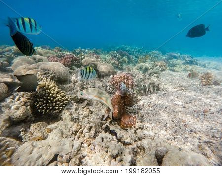 Reef Octopus (octopus Cyanea) And Fish On Coral Reef