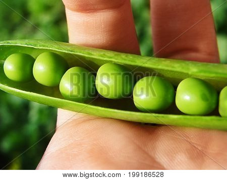 Child hand hold one pea pod and cracking it. Pods of green cracked peas in the hands of women.