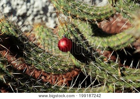 Plant with sharp spines on sunny day. Christmas holiday celebration concept. Red bauble hanging from prickle. Desert nature and natural environment. Cactus with new year ball.