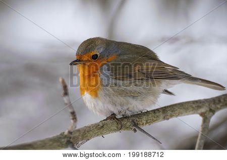 Beautiful tiny orange grey bird European Robin (Erithacus rubecula) sitting on a branch in winter