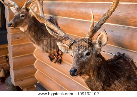 Close up trophy of two stuffed deer heads hanging on wooden wall