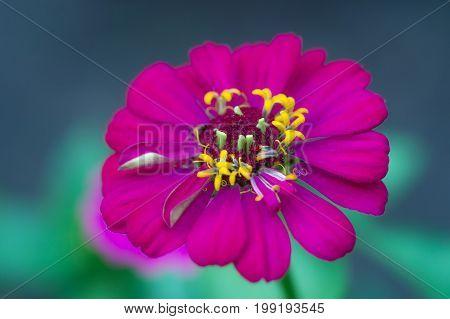 Beautiful crimson zinnia flower. Close-up of blooming zinnia flower