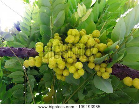 Phyllanthus Acidus Skeels Or Star Gooseberry Tree