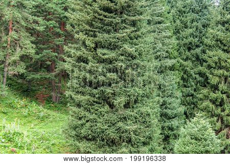 Tien Shan Firs in the mountain forest