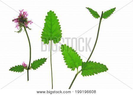 Echte Betonie oder Heil-Ziest (Betonica officinalis Stachys officinalis) bl