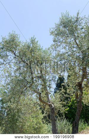 Olive Trees Near Greve In Chianti On Tuscany