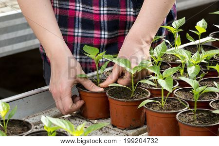 Woman Planting Sprouts