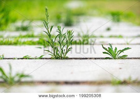Green vegetation growing on a stone footpath, Chengdu, China