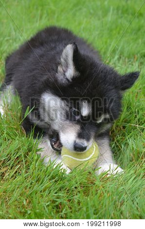 Alusky puppy dog chewing on a ball while laying in grass.