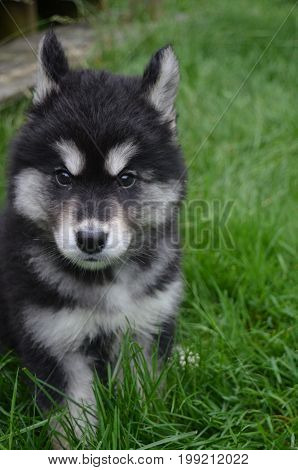 Ears pulled back on the face of an alusky pup.