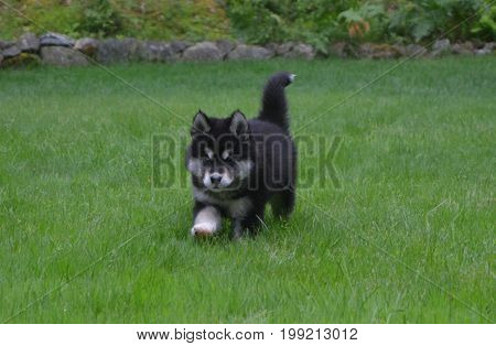 Prancing black and white puppy trotting through green grass.