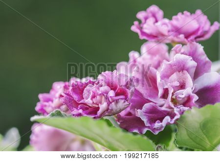 Flowering Saintpaulias, commonly known as African violet. Selective focus