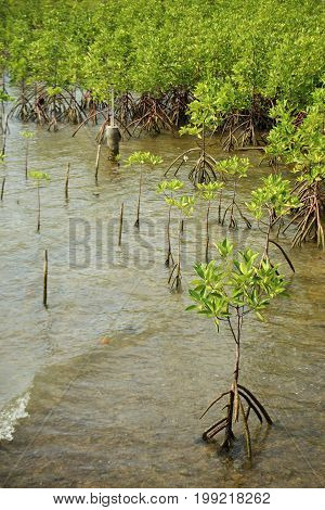 Young mangrove trees in forest at the estuary of a river. Thailand.