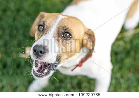 Close-up barking dog Jack Russell Terrier outdoor