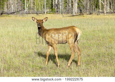 mule deer banff  national park west canada british columbia