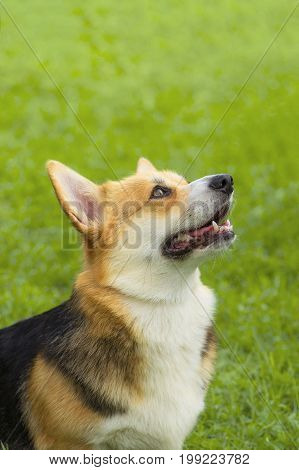 Welsh Corgi - a hunting breed of dogs. Background of green blurred grass. Concept: parodist dogs, dog friend of man, true friends, rescuers. Space under the text. 2018 year of the dog in the eastern calendar