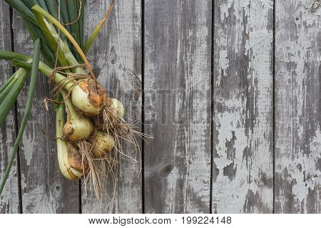 Freshly dug onions on wooden background hanging on a string