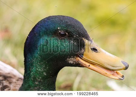 A male Mallard quacking, it's iridescent green neck feathers shining bright
