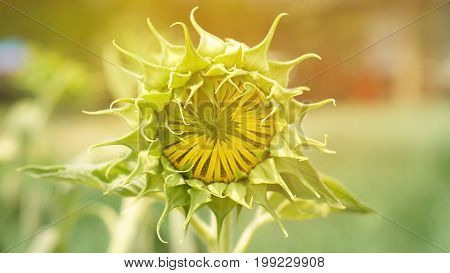 Burgeon Sunflower. Blooming Young Flora Concept Of New Start