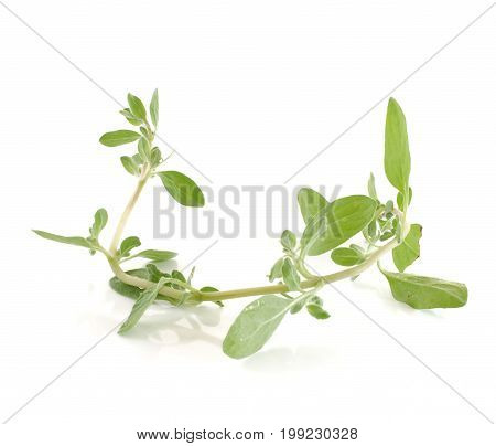 marjoram close up isolated on white background .