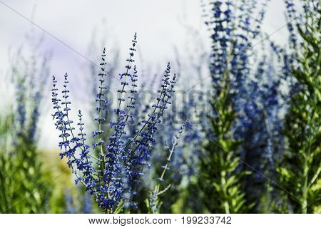 Blue Lavender Shot At Shallow Depth Of Field