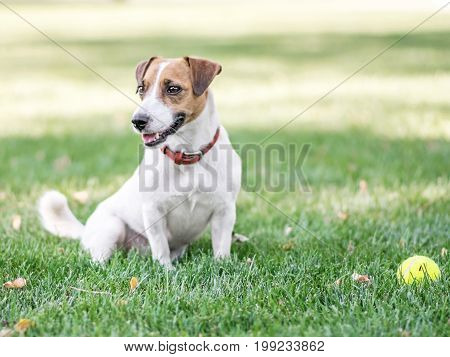 A cute dog Jack Russell Terrier resting after having fun with a small Tennis ball on green lawn