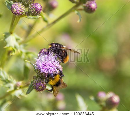 two Bumblebees on thistle flower in natural green ambiance