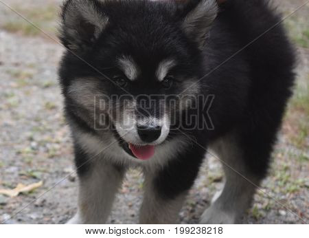 Really cute playful alusky puppy ready to pouce.